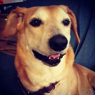 "It's hot here today...but heat is the old thing that makes Sophie ""smile"" :) #rescueddogsofinstagram #houndmix #happydog #dogstagram #instadog #adoptdontshop #muttstagram #muttsofinstagram #seniordog #ilovebigmutts #ilovemyseniordog"