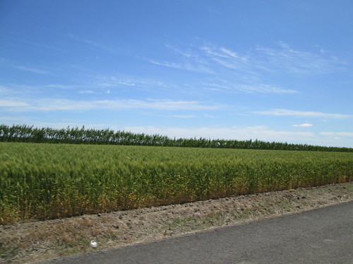 Wheatfield and trees