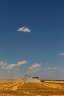 Farmer Randy drives his tractor/grain cart while we are cutting his wheat.