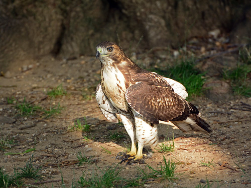 JHW Hawk Fledgling - 4261