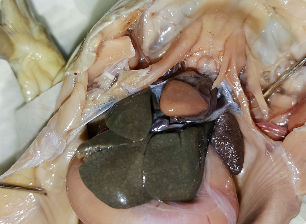 Frog Heart Lung 01 Biologycorner Flickr