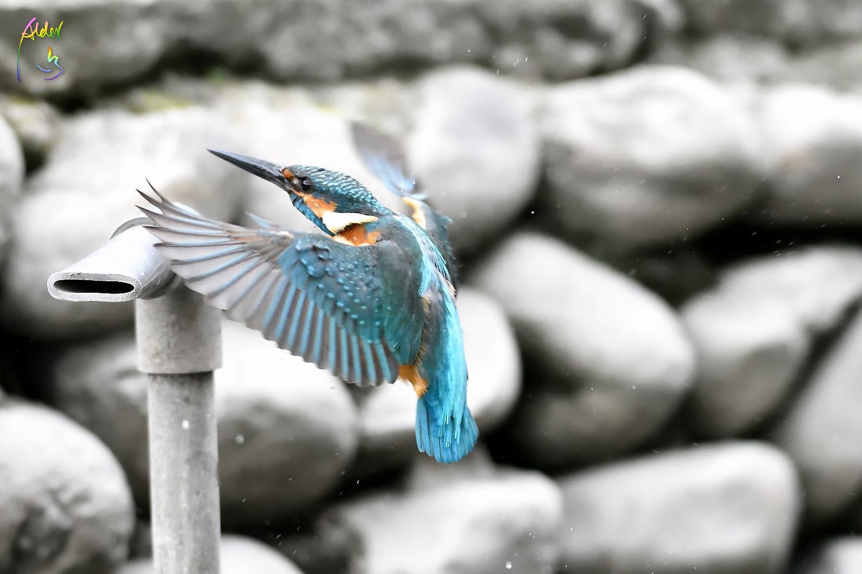 Common_Kingfisher_0932