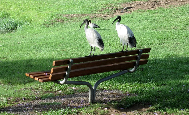 Birdlife at University of Queensland
