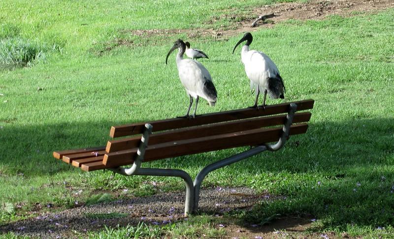 Birdlife at University of Queensland