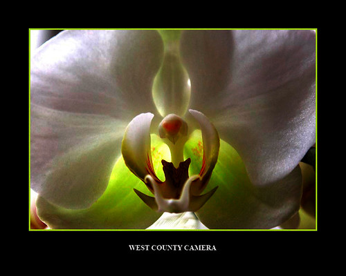White orchid* | by West County Camera