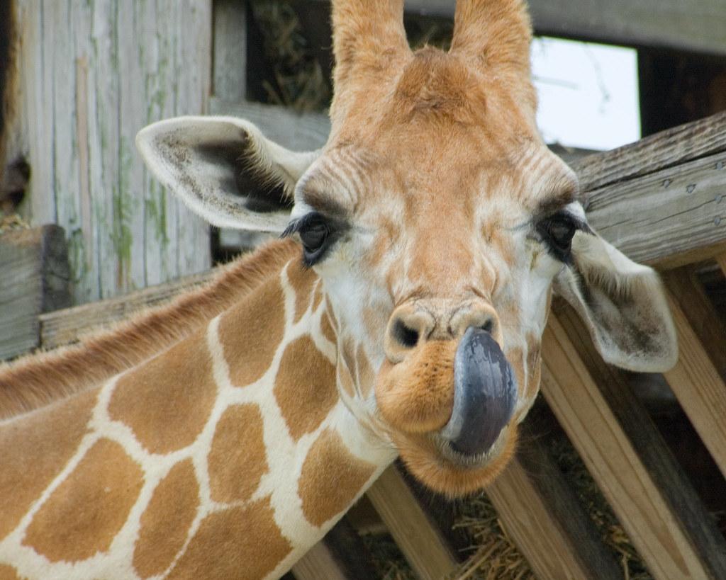 Giraffe tongue - photo#21