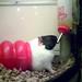 [PetSmart] Guinea pig