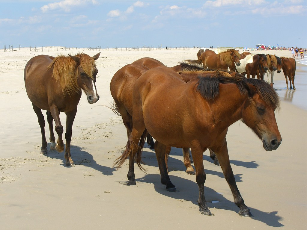 Wild Ponies @ Assateague