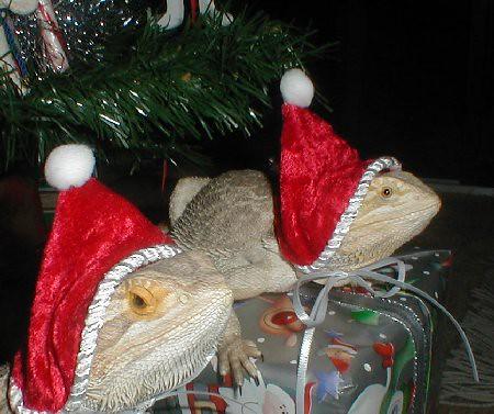 Christmas lizards   my...