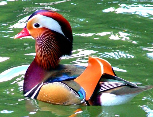 mandarin duck in full color | by *LINNY *