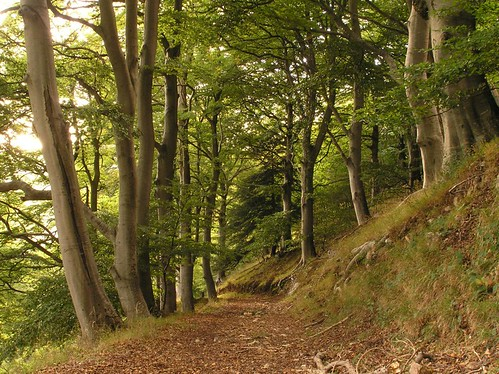 Beech Wood | by elhawk