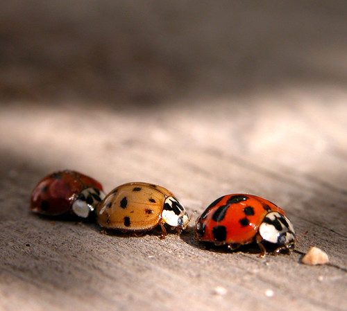 ...Ladybird Traffic Jam... | by Random Images from The Heartland