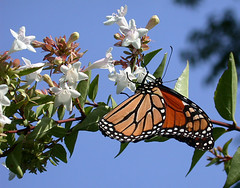 monarch on abelia | by Fifi LePew