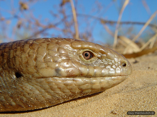 Legless lizard ('Ophisaurus apodus') קמטן החורש crawling in the dunes | by HyperViper