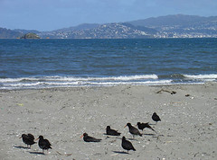 Petone Oyster Catchers | by imajane
