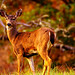 The Inquisitive Deer
