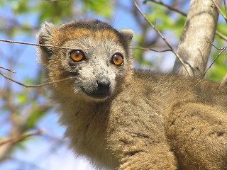 lemur | by belgianchocolate