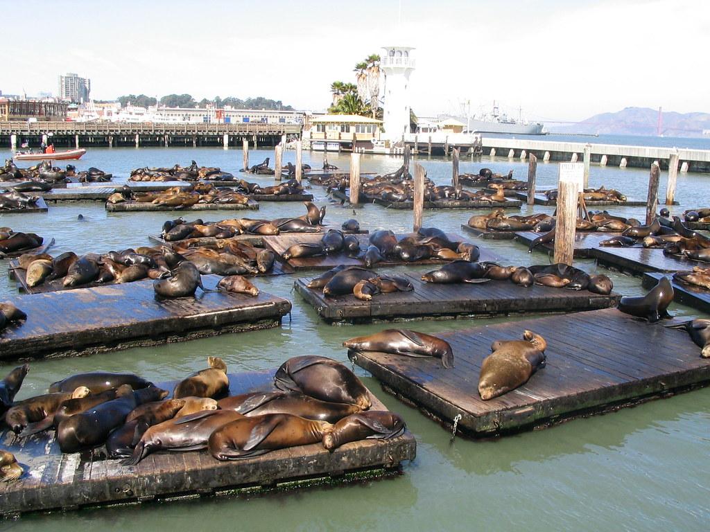 Pier 39 Sea Lions Fishermans Wharf San Francisco Califo