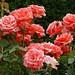 Roses at the CBG