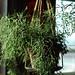 Epiphytic Cacti