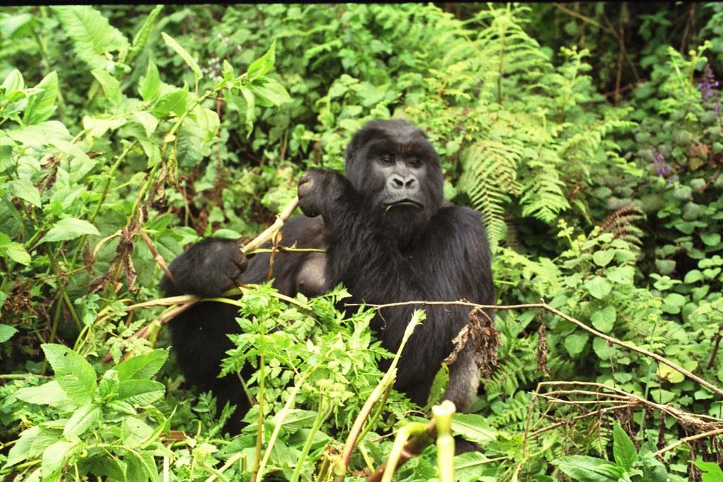 Mountain Gorilla Food Chain