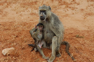 Monkey baby and mother | by ff137