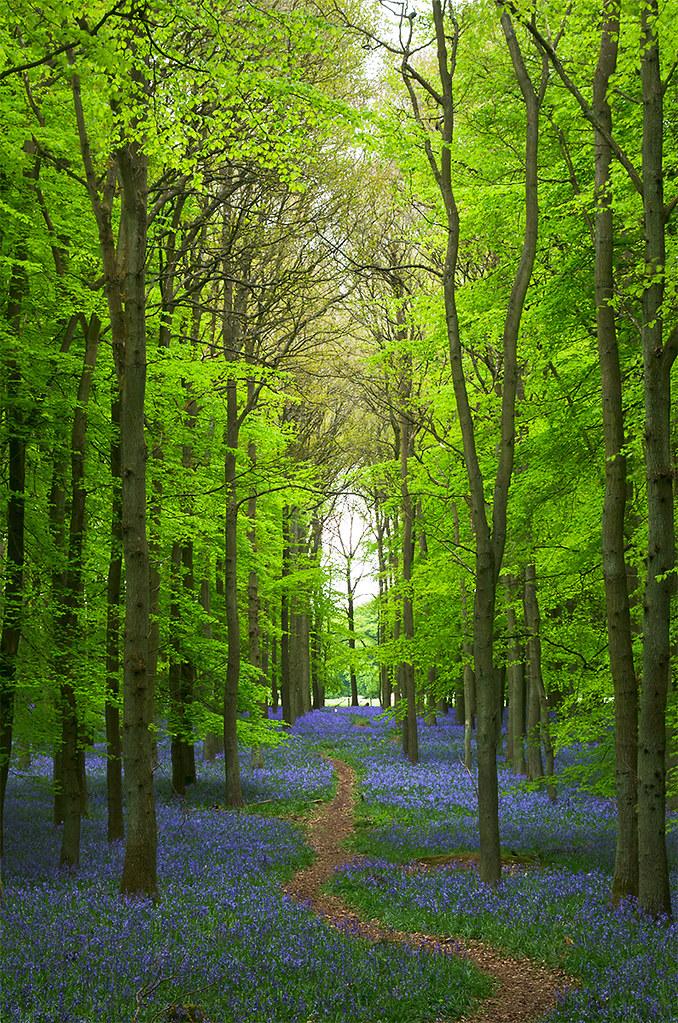 Path Through Bluebells In Spring Ashridge Forest Park