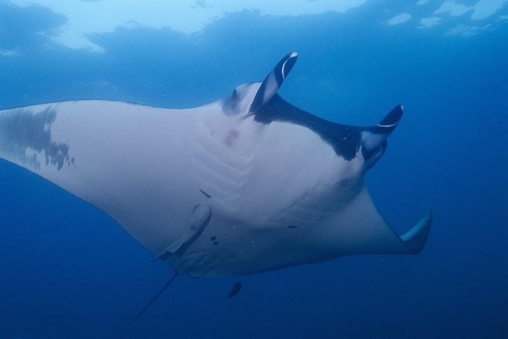 giant oceanic manta ray manta birostris elias levy flickr. Black Bedroom Furniture Sets. Home Design Ideas