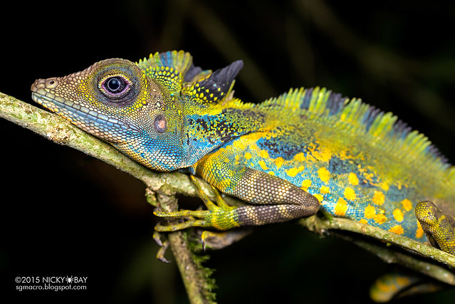 Great anglehead lizard (Gonocephalus grandis) - DSC_5711