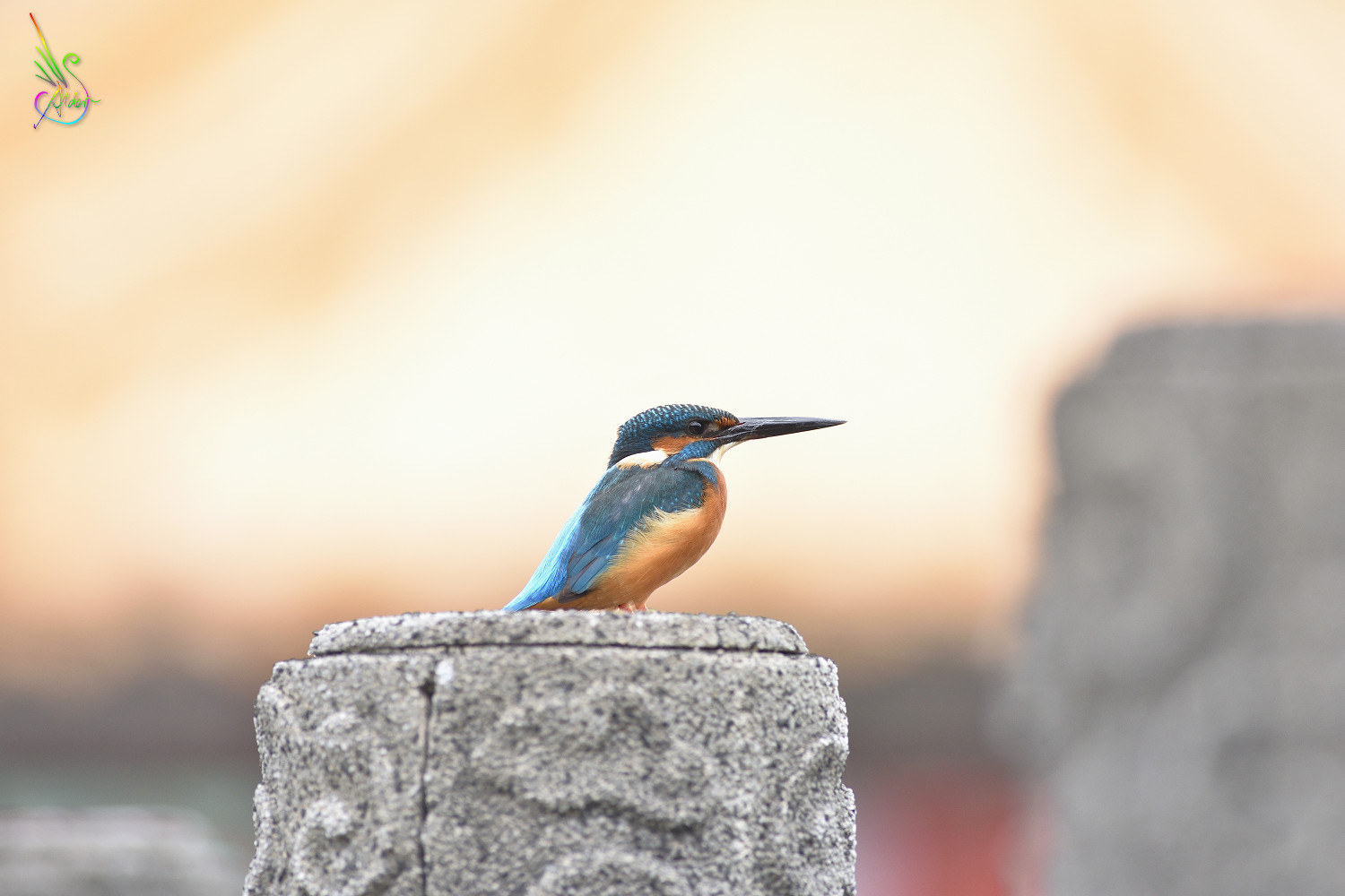 Common_Kingfisher_7643