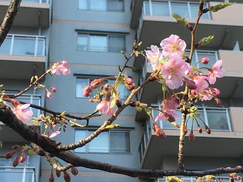 恵比寿東公園の河津さくら 2017.2.4