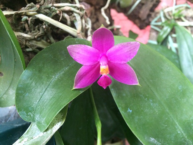 Phalaenopsis violacea coerulea x 'Norton' 18587667680_69dcd449ba_z