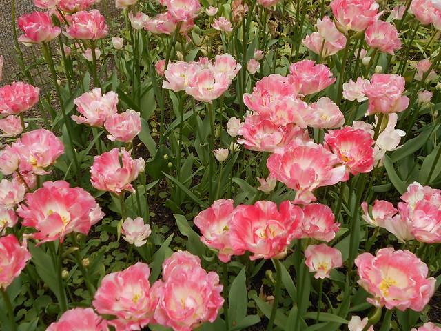 """Tarhatulppaanin (Tulipa gesneriana """"Angelique"""") kukintaa 6.6.2015 Kaisaniemen kasvitieteellinen puutarha Helsinki"""