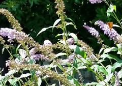 farfalle su budleja