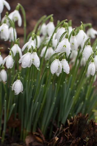 Snowdrops & raindrops