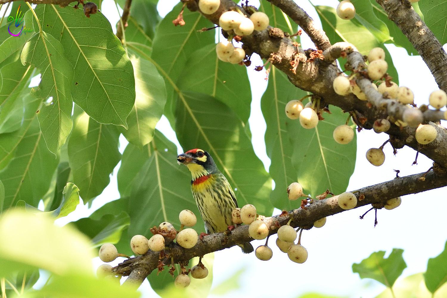 Coppersmith_Barbet_5804