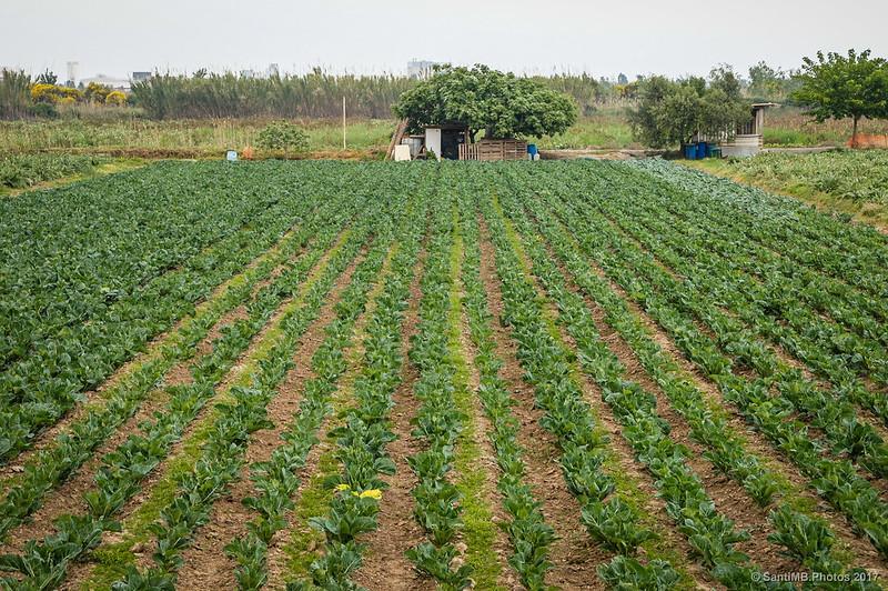 Campos de hortalizas del Prat del Llobregat