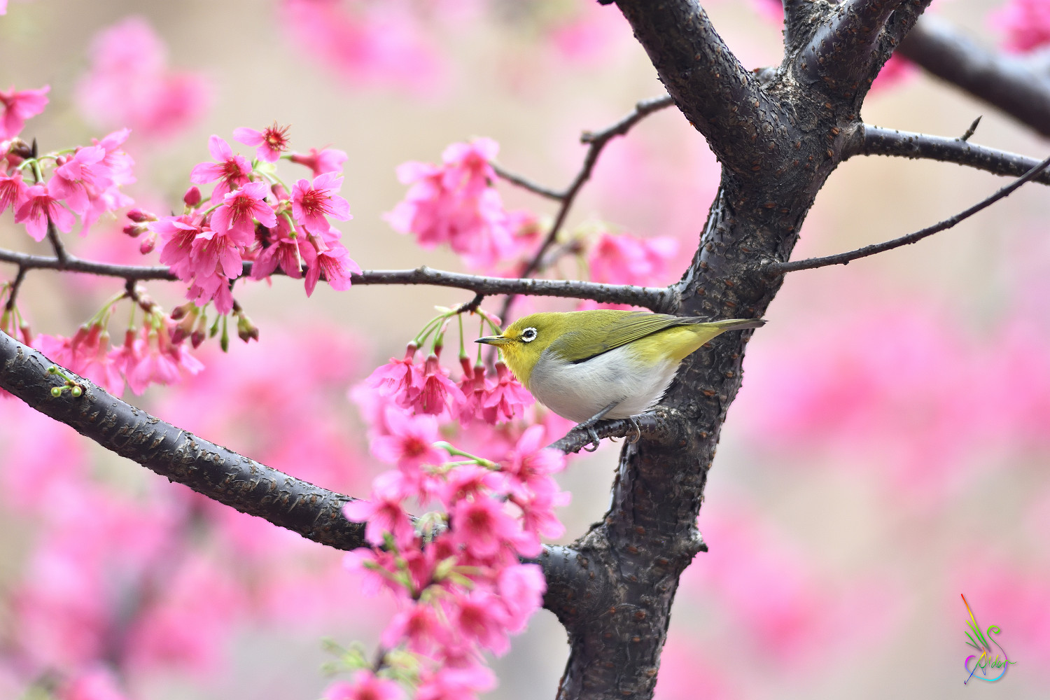Sakura_White-eye_5494