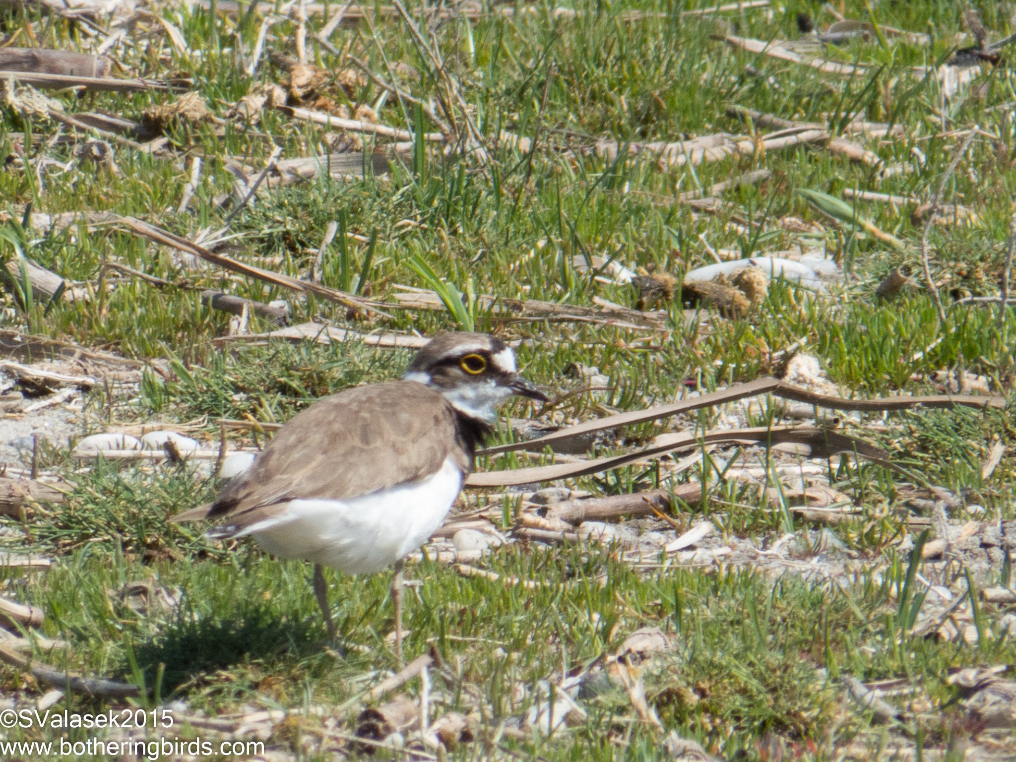 Little Ringed-Plover