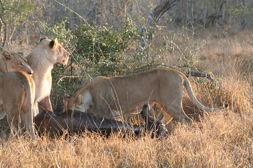 Lionesses feasting