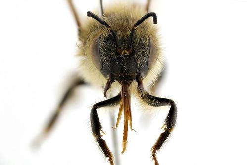 セイヨウミツバチ Apis (Apis) melifera Linnaeus, 1758-1-1