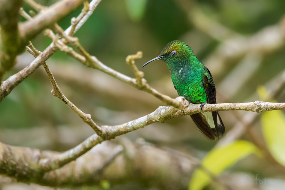 Elvira, cupreiceps, Eupherusa, hummingbird, Lawrencius, Coppery, headed, Emerald, Curi, Cancha, Reserve, Costa Rica, koolibri, Kaido Rummel