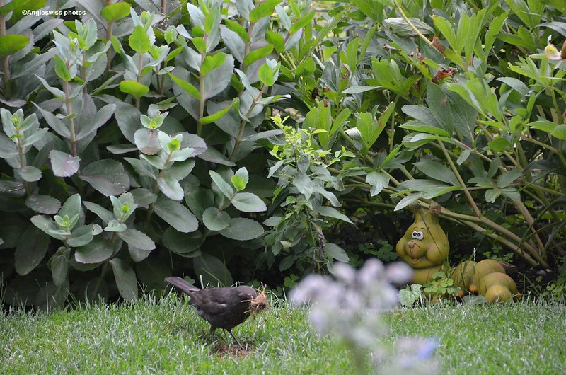 Blackbird with nest material