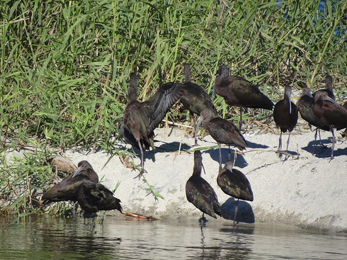 white-faced ibis sunning