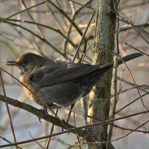 amsel weibchen common blackbird turdus merula flickr. Black Bedroom Furniture Sets. Home Design Ideas