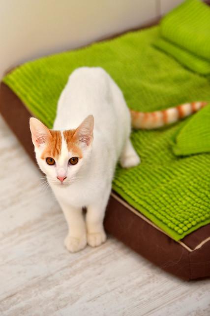 Gary, gatito blanco y naranja cruce Van Turco esterilizado muy activo nacido en Julio´16, en adopción. Valencia. ADOPTADO. 31333202550_d134257f01_z