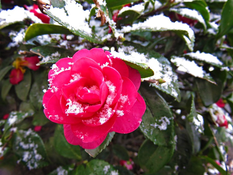 Сamellia flower in the snow