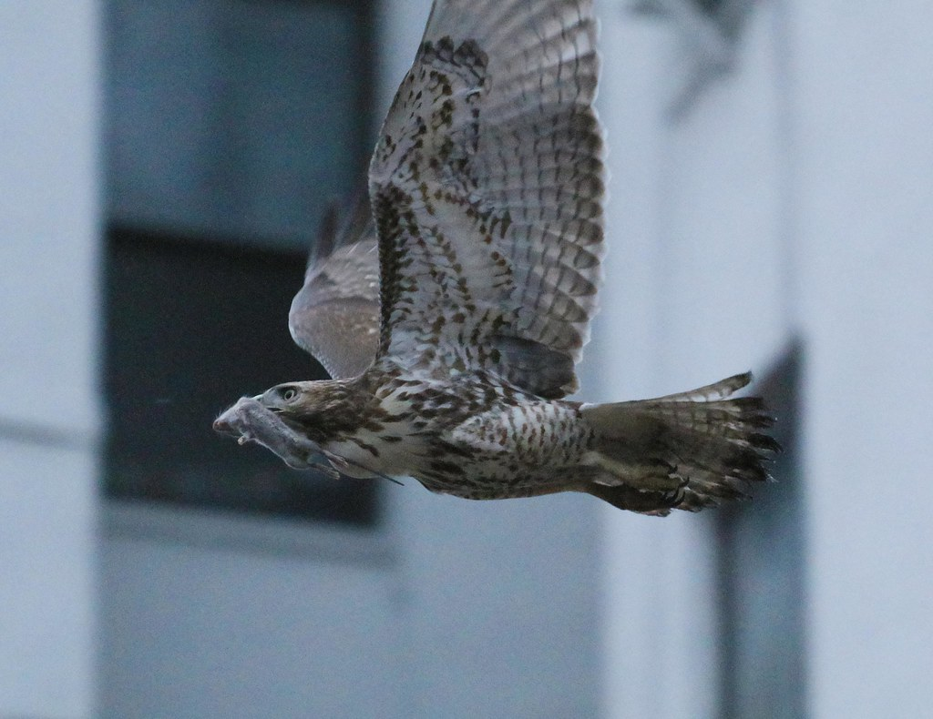 Red-tail with mouse after sunset