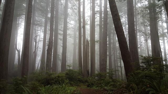 Ocean mist in the Redwood trees