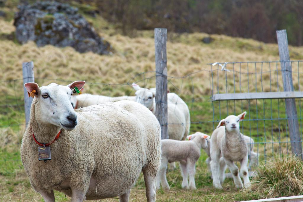 Sheep-21